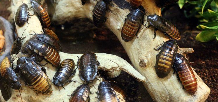 Comment lutter contre les blattes ?